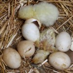 Naked Chicks Week One - concerned of Herefordshire...